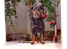 femelle rottweiler géant 2.5 ans