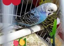 زوج جميل طيور حب