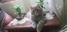 قطة شرازي اب عن جد