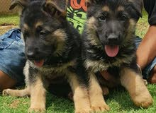 German Shepherd Pure Breed for Sale
