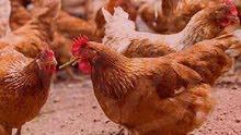 دجاج ساسو