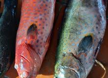 أسماك بلدي  سمك حي