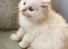 3 months old kitten (mixed breed: Ragdoll and Persian)