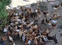 دجاج اعمار 3 شهور للبيع جمله ومفرد
