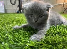 كيوت ذكر سكوتش Scottish kitten male