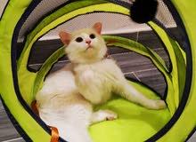 قطط للبيع لمحبين الإنتاج المميز