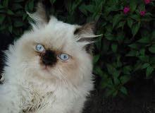 قطط هملايا نثيه وفحل