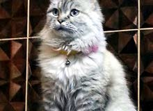 قطه شرازي مع سيامي