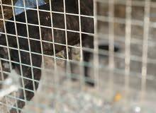 تم تخفيض السعر كلب للبيع بيت بول