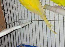 جوز كورك لون اصفر +طيره