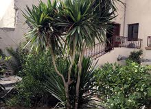 شجرة زينة