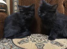 قطتين عمرهم شهرين ونصف