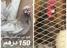 دجاج حب حب كويتي