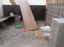 ارانب عمانيه جاهزه للانتاج