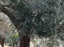 أشجار زيتون مُعمِّره للبيع