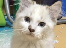 قط راغدول