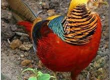 طاووس هندي وحجل ابيض وقولدن