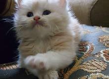 Shiriazy Kitten