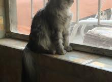 قطه اليفه العمر الحالي سنه