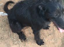 كلب ارمنت مهجن مع لابرادور ذكر البيع