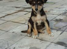 كلب بوليس عمرة شهرين