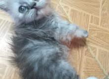 قطه بنت شيرازي بيرشن للبيع