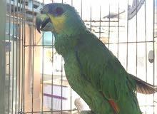 ببغاء امازون اليف للبيع او للبدل على طيور