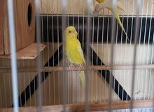 طيور حب لاتينو