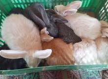 ارانب 10حب فقط 35 دينار