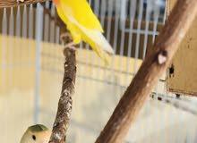 طيور لوف بيرد زوج جاهز منتج