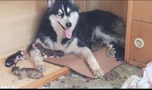 جراوي و كلاب هاسكي للبيع - Husky dogs and puppies for sale