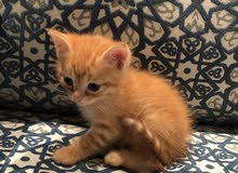 قطط منزلية اليفة - للبيع بمبلغ رمزي.