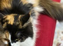 Hymalayan Female cat