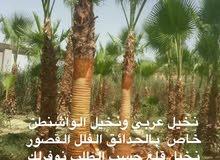 نخيل عربي ونخيل الواشنطن