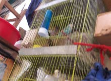 للبيع  عصافير زينة