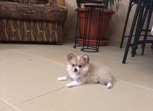 (Mini) Pomeranian puppies————جراوي بوميرينين ميني