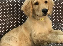 جرو بيور قولدن Five months pure Golden Retriever