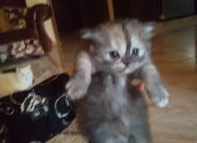 قطة شيرازي وبنتها شيرازي مكس