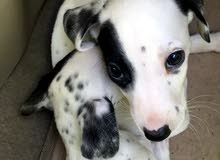 pure Dalmation puppies , only one female left !!!!