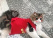 قط شيرازي (للتزاوج)