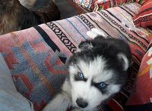 كلب هسكي عمر 4 شهور