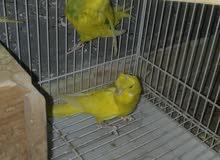 طيور حب كورك او كرست