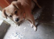 كلب دلفوكس للبيع 250 او بي مجال