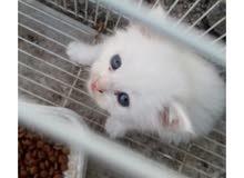 قطط للبيع اللون واضحك في صوره وصحتهم حلوه