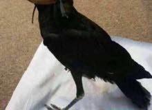 طائر شاهين للبيع او للمبادلة بشحان اصلي لا أريده بسبب لايوجد وقت له