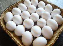 مطلوب بيض دجاج عرب مخصب