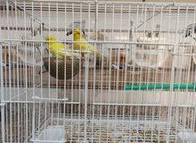 Canaries Breeding Pair