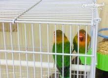 طيور غندورة فيشر كبار ونظيفات