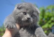 Scottish fold for sale / عرض العيد قطط سكوتيش اسكتلنديه مطويه الأذن للبيع
