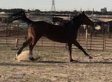 حصان إنجليزي